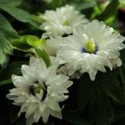 anemone-nemorosa-blue-eyes-berki-szellőrózsa2