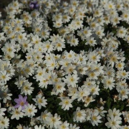 anemone-nemorosa-hilda-berki-szellőrózsa2