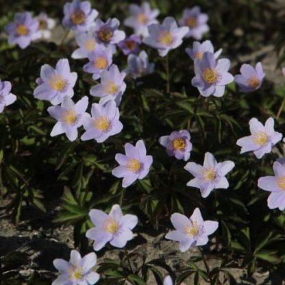 anemone-nemorosa-robinsoniana-berki-szellőrózsa2
