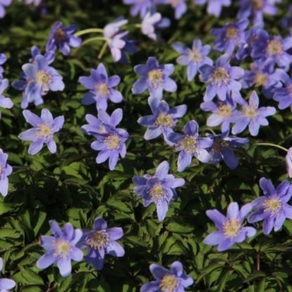 anemone-nemorosa-royal-blue-berki-szellőrózsa2