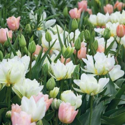 A Tulipa 'Apricot Beauty' és a Tulipa 'Mount Tacoma' tulipánok társítása