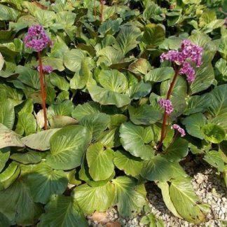 bergenia-cordifolia-szívlevelu-borlevel