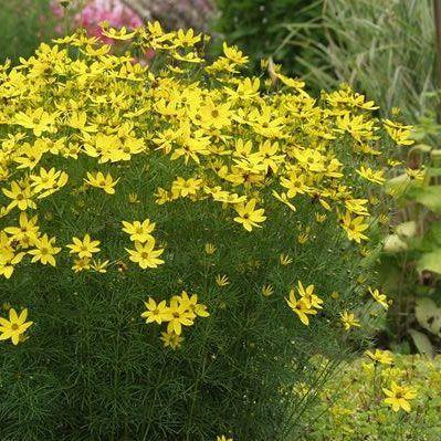 coreopsis-verticillata-grandiflora-menyecskeszem