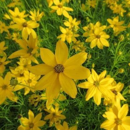 coreopsis-verticillata-grandiflora-menyecskeszem1