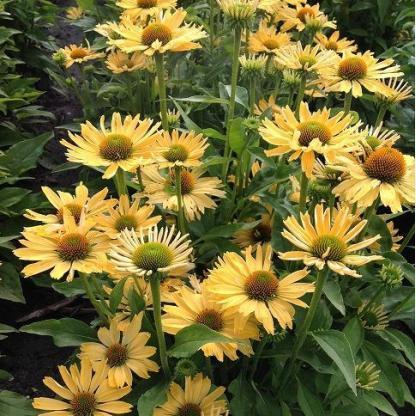 echinacea-yellow-pearl-kasvirag