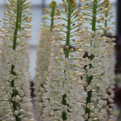Az Eremurus himalaicus - korbácsliliom hófehér, hosszú virágzatát apró, csillag formájú virágok töltik ki.
