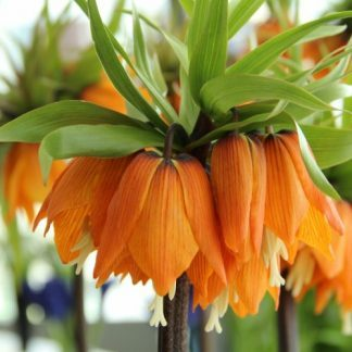 fritillaria-garland-star-csaszarkorona