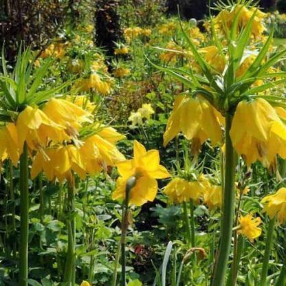 A 80-100 cm magas Fritillaria 'Lutea' - császárkoronahalványsárga, harang formájú, bólogató virágait április-májusban hozza.