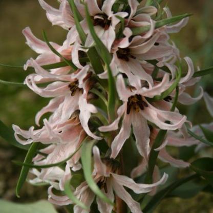 fritillaria-stenanthera-kockasliliom