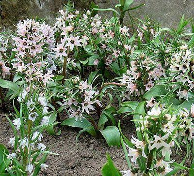 fritillaria-stenanthera-kockasliliom2