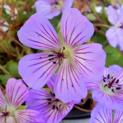 geranium-all-summer-plaseure-golyaorr