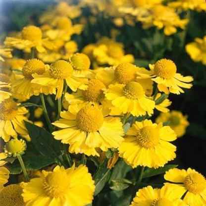 helenium-autumnale-helena-yellow-oszi-napfenyvirag