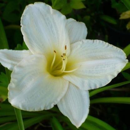 hemerocallis-white-temptation-sasliliom