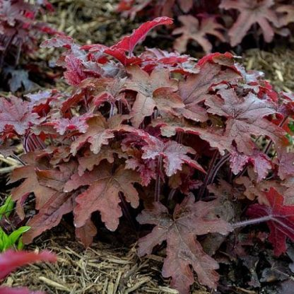 heucherella-red-rover-turbáncső2