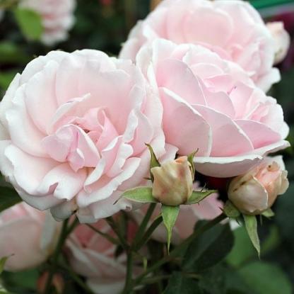 Ballade halvány rózsaszín