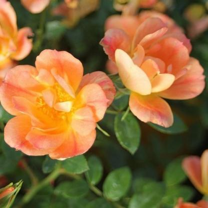 Bienenweide Apricot - barackszínű miniatűr rózsa