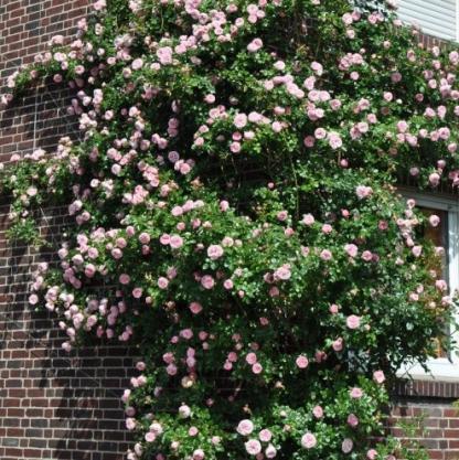 Giardina rózsaszín nosztalgia futórózsa