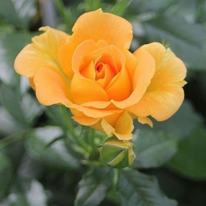 Goldelse floribunda ágyás rózsa florapont
