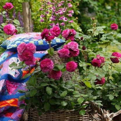 Kaffe-Fassett lila ágyás rózsa
