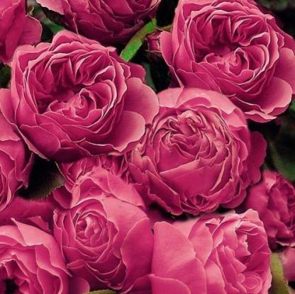 Leonardo Da Vinci - rózsaszín ágyás rózsa