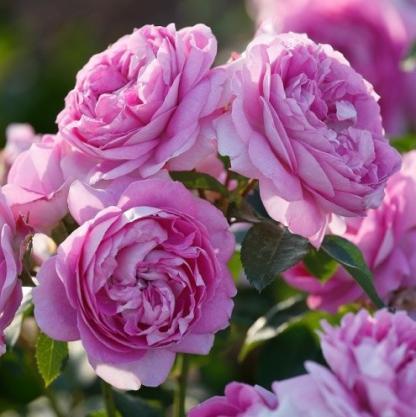 Lilac Topaz lila ágyás rózsa