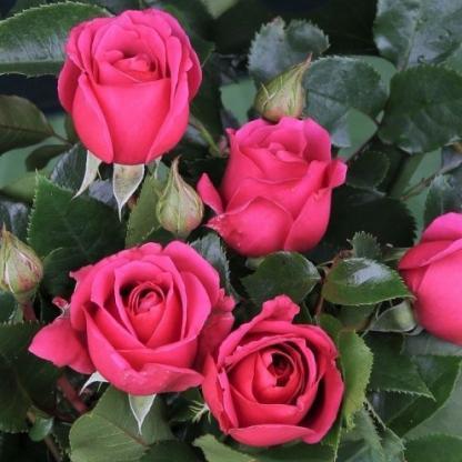 Love Letter rózsaszín ágyás rózsa