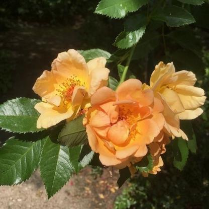 Maigold aranysárga vadrózsa