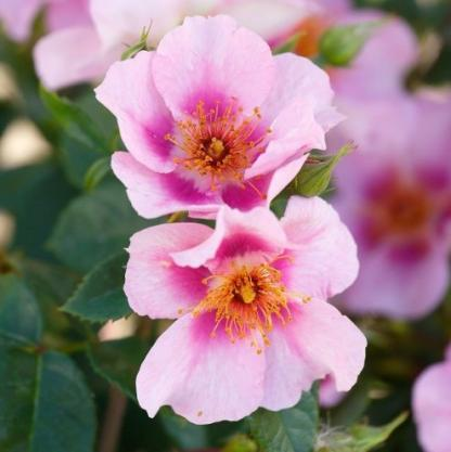 Orienta Laila - rózsaszín bokorrózsa