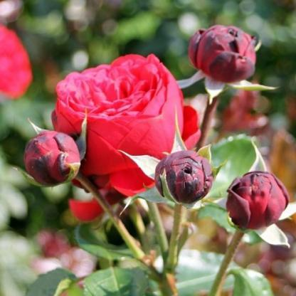 piano teahibrid rózsa