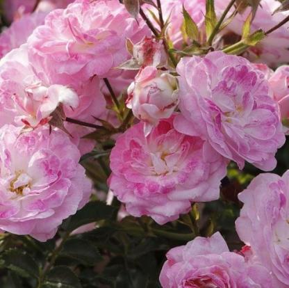 Pinocchio– rózsaszín miniatűr rózsa