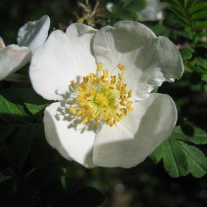 Rosa omeiensis Pteracantha fehér vadrózsa