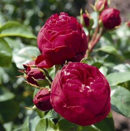 Royal Piano piros nosztalgia teahibrid rózsa