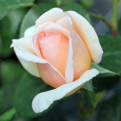 Tropicana® – narancssárga teahibrid rózsa 2 Az egyik legillatosabb teahibrid rózsa, arany narancssárga virágja rózsazselék, desszertek készítéséhez is remek! <em>Kiszerelés: szabadgyökerű, A minőség</em>