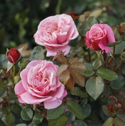 Wildberry rózsaszín nosztalgia teahibrid rózsa