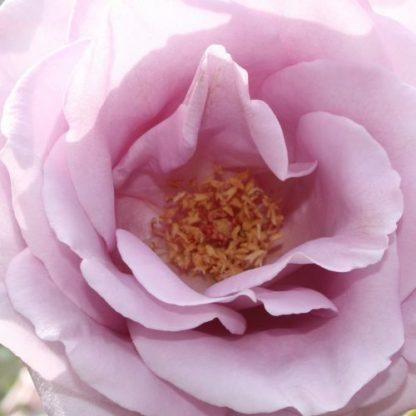 Mainzer Fastnacht®(Blue Moon) – levendulakék teahibrid rózsa 2 Rendkívül elegáns ezüstös levendulakék, tömött virágú, elbűvölő illatú teahibrid rózsa. Sokszor virágzik, erőteljes növekedésű. <em>Kiszerelés: szabadgyökerű, A minőség</em>