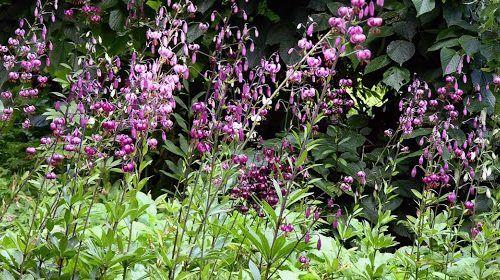 Martagon liliomok felhasználása kiskertekbe