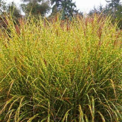 miscanthus-sinensis-gold-breeze-japanfű