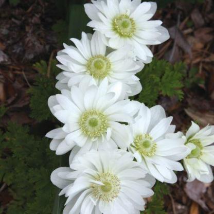 Az Anemone coronaria 'Mount Everest' duplavirágú, fehér szirmú, zöld porzós koronás szellőrózsa.