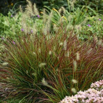 pennisetum-alopecuroides-burgundy-bunny