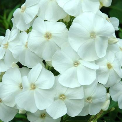 phlox-paniculata-sweet-summer-white fehér bugás lángvirág