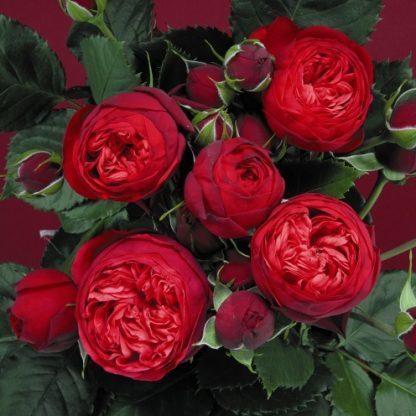 Piano élénk piros nosztalgia teahibrid rózsa