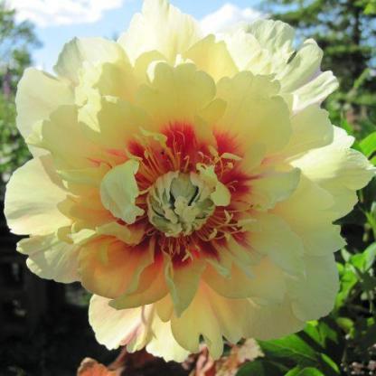 Paeonia Itoh 'Prairie Charm' - Itoh bazsarózsa hibrid