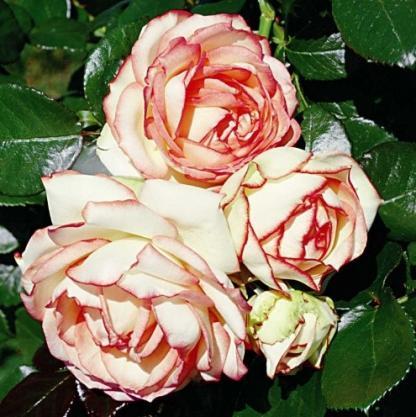 Biedermeier piros/zöld virágú miniatűr rózsa