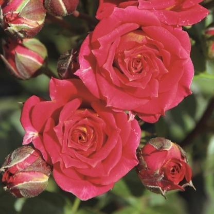 Chili Clementine vörös miniatúr rózsa