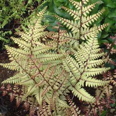 Athyrium-otophorum-Okanum-pafrany