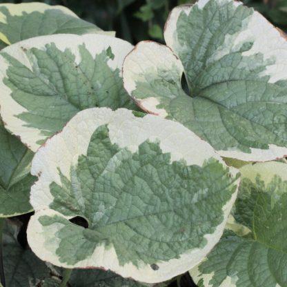Brunnera macrophylla 'Variegata' – kaukázusi nefelejcs