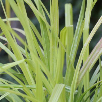 Carex elata 'Aurea' – zsombéksás