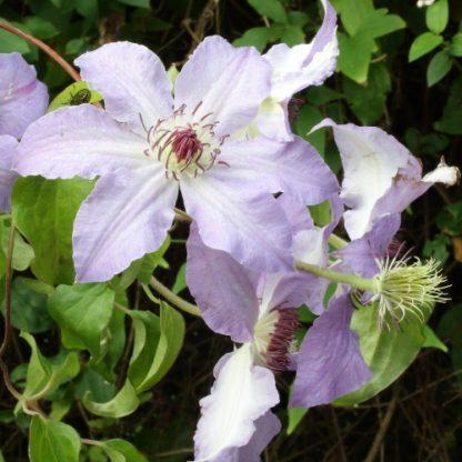 Clematis 'Laura' – nagyvirágú, korai virágzású klemátisz 2