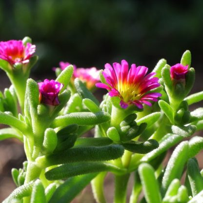 Delosperma 'Wheels of Wonder Hot Pink Wonder'