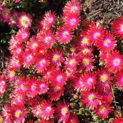 Delosperma Jewel of Desert-garnet-delvirag